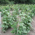 Trellis keeps beans off ground