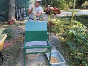 Threshing the rice with a treadle powered thresher.