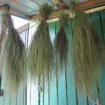 Teff in drying shed