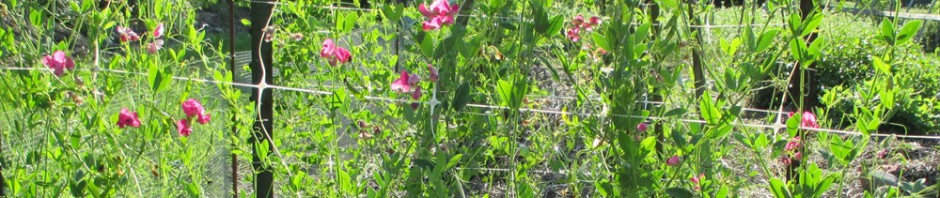 Earth pea blooming