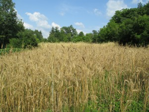 Mature stand of wheat