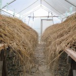 Rye drying in greenhouse