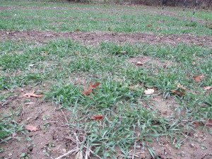 Fall planted Rye in beds