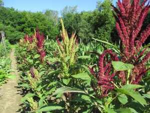 Fercita amaranth July 2014