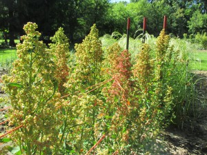 Red Head Quinoa July 2014