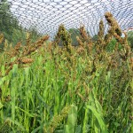 Japanese Millet 1 1000 by 750