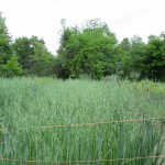 hulless oats 2 1000 by 750