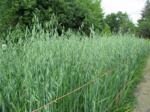 hulless oats BG 1 1000 by 750
