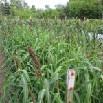 japanese millet 2 1000 by 750