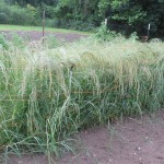 white teff 2 1000 by 750