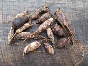 earth Pea tubers 1000 by 750