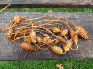 ground nut tubers 1000 by 750