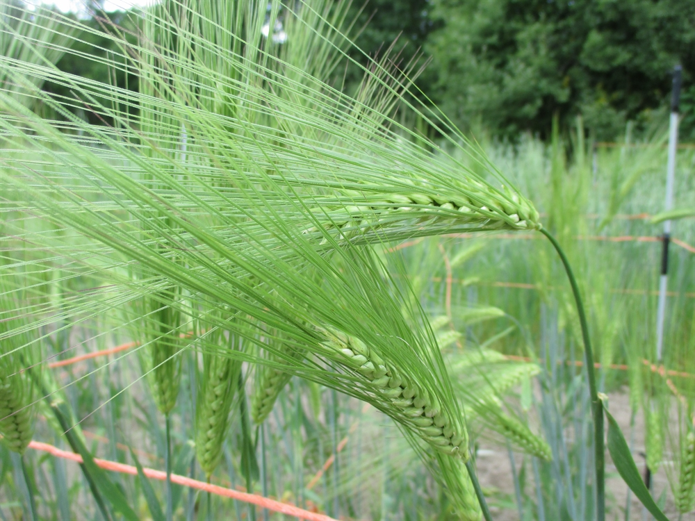 Ancient Wheat and Heritage Barley | Sherck Seeds