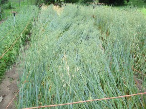 This crop would be flattened from lodging without supports.
