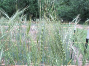 Banatka Wheat