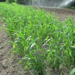 Buffalo barley bed may 25